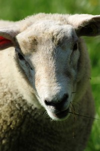 sheep-200841_640